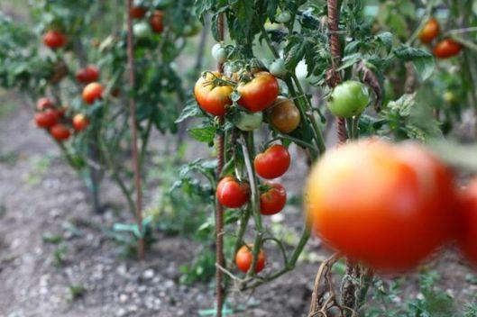 vrt paradajzi